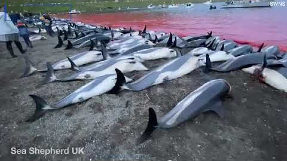 Hundreds of dolphins dead on a beach in annual Faroe Islands hunt