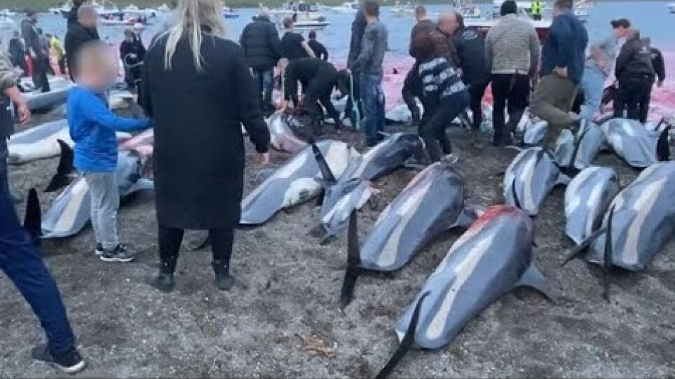Anger as hundreds of dolphins hunted in annual Faroe Islands slaughter
