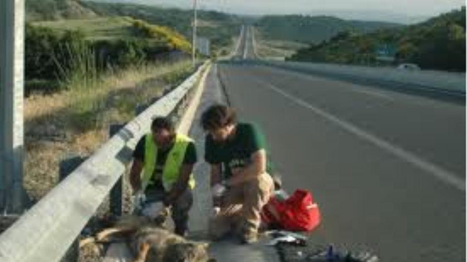 Λύκαινα θύμα τροχαίου στην Κοζάνη