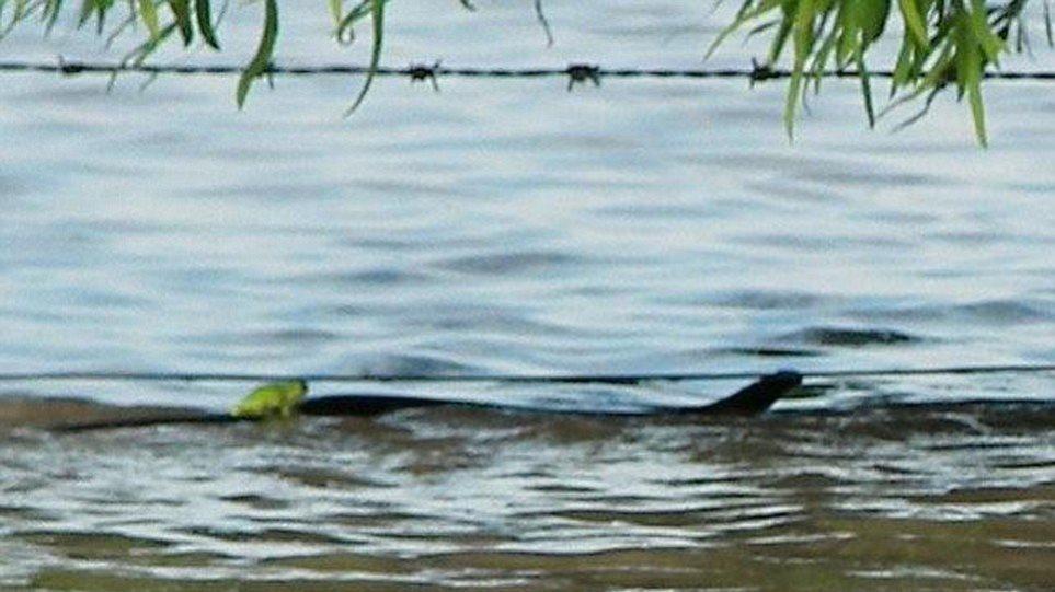 Φίδι κουβαλάει βατραχάκι… για να σωθούν!