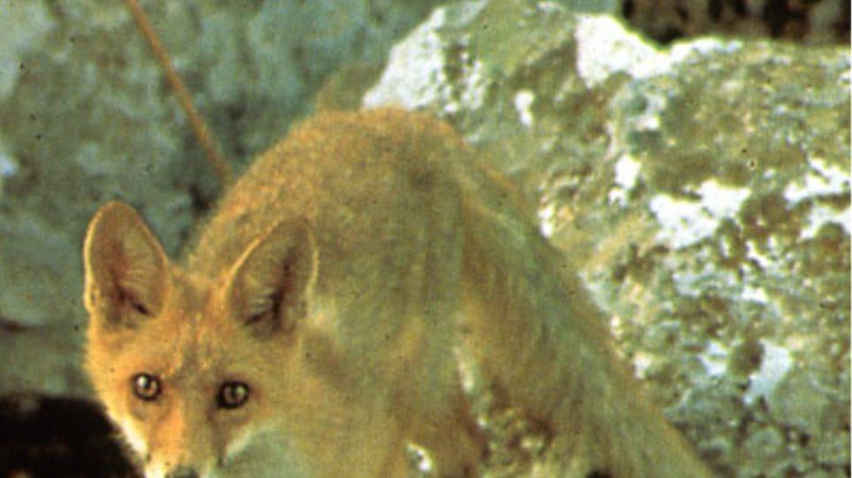 Δηλητηρίασαν έξι αλεπούδες στη Μεσσηνία