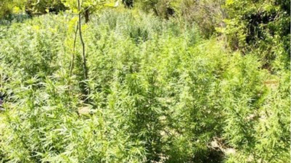 Καλλιεργούσε χασισόδεντρα ύψους τριών μέτρων