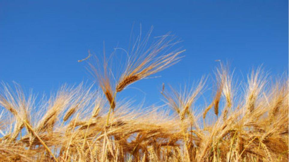 Βουλγαρία:Καθησυχάζουν για επάρκεια σιτηρών