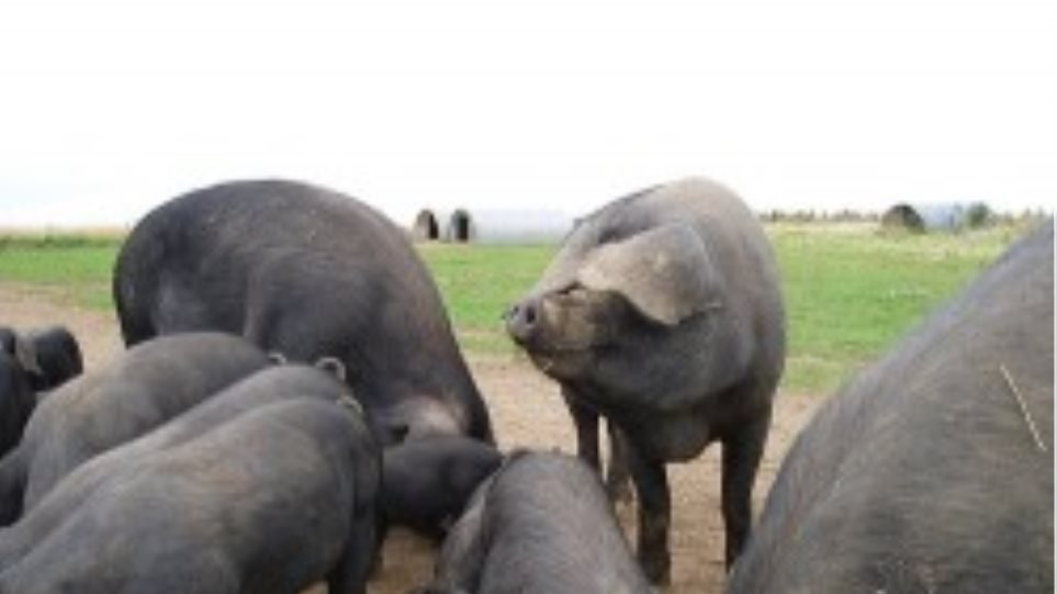 Θανατώθηκε το 15% χοίρων και βοοειδών στη Ν. Κορέα