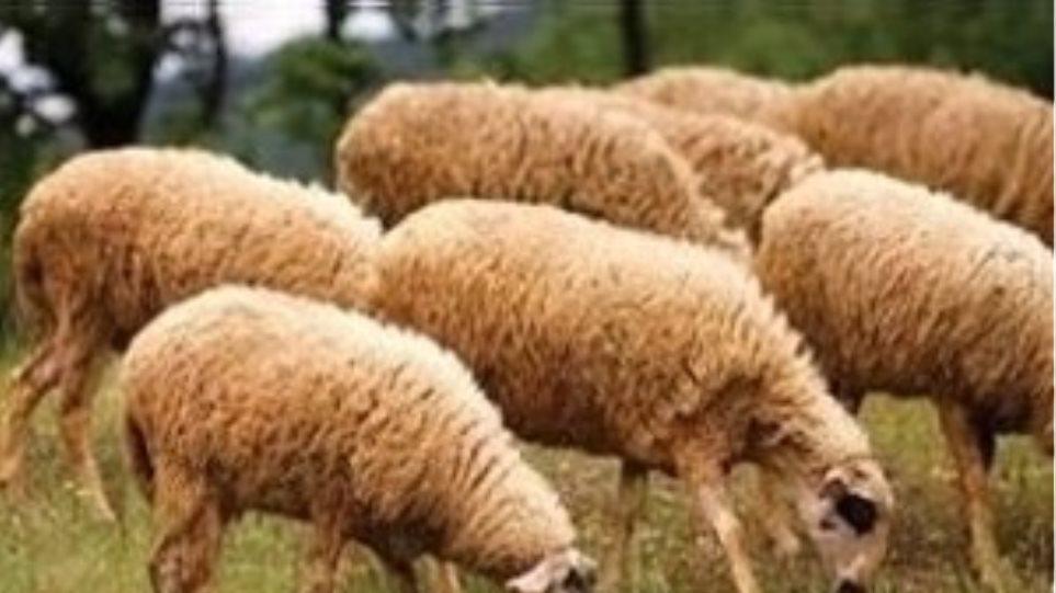 Έβαλαν τον λύκο να φυλάει τα πρόβατα