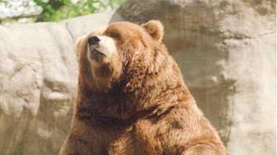 Νεκρή αρκούδα βάρους 220 κιλών