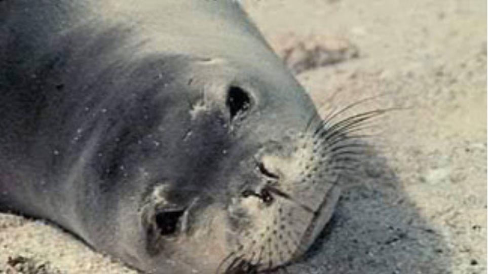 Μεσογειακή φώκια, θύμα ψαρέματος με δυναμίτιδα