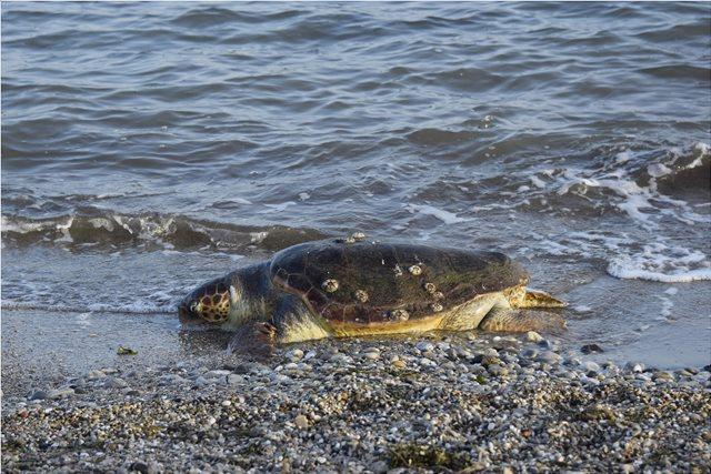 Νεκρή άλλη μία χελώνα καρέτα - καρέτα μέσα σε λίγες ημέρες