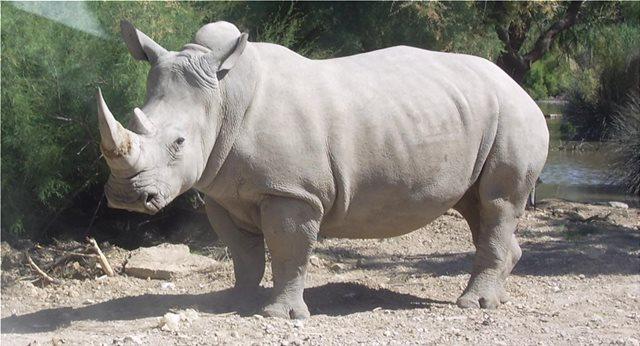 Ελπίδες για τον λευκό ρινόκερο του Βορρά: Γονιμοποιήθηκε τεχνητά ένα από τα δύο τελευταία θηλυκά του πλανήτη
