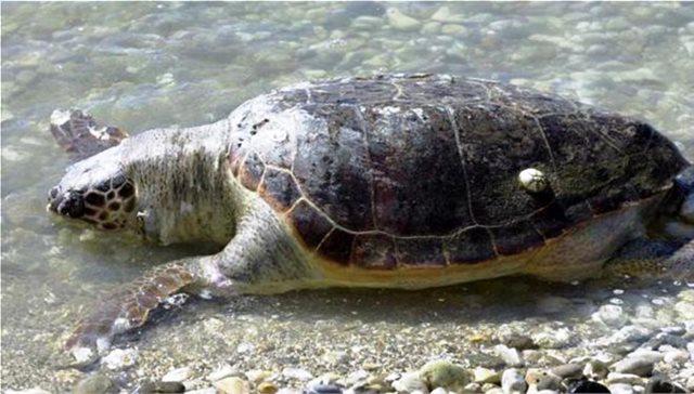 Εντοπίστηκε νεκρή χελώνα καρέτα-καρέτα στη Σαλαμίνα