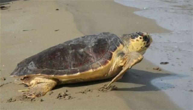 Κρήτη: Σε σοβαρή κατάσταση παραμένει η χελώνα καρέτα-καρέτα που βρέθηκε στη Σούδα