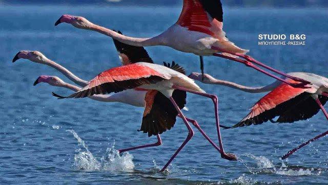 Σμήνος από πανέμορφα ροζ φλαμίνγκο έκανε... «απόβαση» στο Ναύπλιο