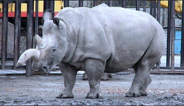 Δημιουργήθηκαν για πρώτη φορά υβριδικά έμβρυα του βόρειου λευκού ρινόκερου