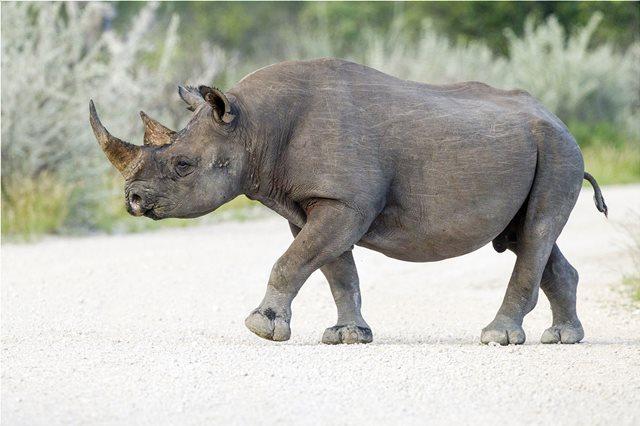Κένυα: Πέθαναν οκτώ υπό εξαφάνιση μαύροι ρινόκεροι από δηλητηριασμένο νερό