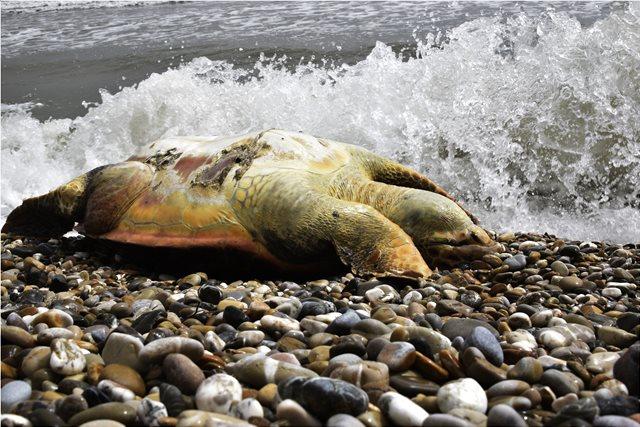 «Σώστε τη χελώνα καρέτα-καρέτα»: Ερώτηση στη Βουλή από 53 βουλευτές του ΣΥΡΙΖΑ