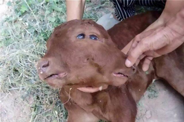 Μοσχάρι με δύο κεφάλια σοκάρει τους κατοίκους χωριού στην Κίνα