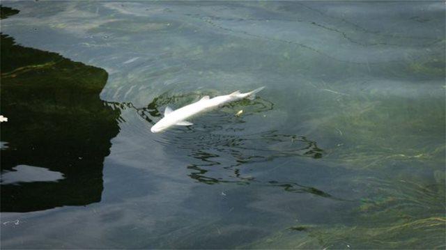 Ελβετία: Έναν τόνο νεκρά ψάρια «ξέβρασε» ο Ρήνος λόγω του καύσωνα