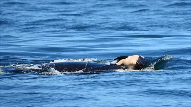 Όρκα κολυμπούσε επί 17 ημέρες με το νεκρό μωρό της στη ράχη της