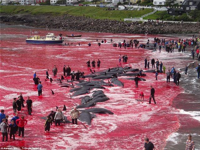 Σκληρές εικόνες: Η θάλασσα κοκκίνισε στα Φερόε από τη σφαγή 180 φαλαινών για τον χειμώνα