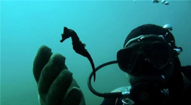Greek diver campaigns to protect seahorse colony