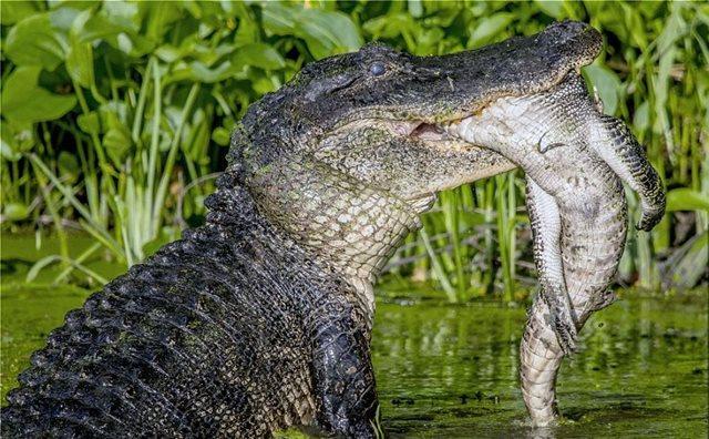 Συγκλονιστικές φωτογραφίες: Τεράστιος αλιγάτορας-κανίβαλος τρώει έναν μικρότερό του