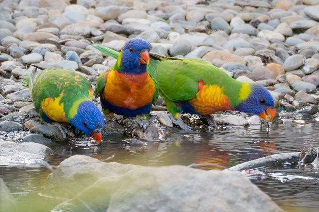 Η ξηρασία στην Αυστραλία κρατά τα πουλιά στα πάρκα του Σίδνεϊ