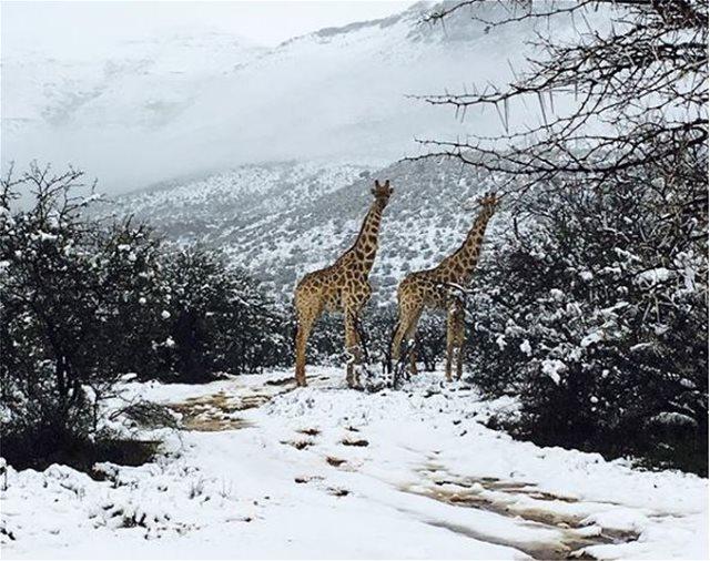 Στα «λευκά»... η Νότια Αφρική: Μοναδικές εικόνες με καμηλοπαρδάλεις, λιοντάρια και ελέφαντες στα χιόνια