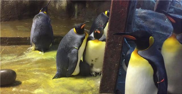 Γκέι πιγκουίνοι «απήγαγαν»  μωρό πιγκουινάκι, όταν το άφησαν μόνο οι γονείς του!