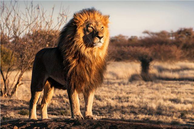 Μια ανησυχητική ασθένεια σκότωσε μέσα σε τρεις εβδομάδες 21 από τα λίγα ασιατικά λιοντάρια που έχουν απομείνει