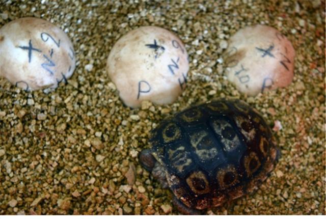 Άγνωστοι έκλεψαν 123 μωρά γιγαντιαίων χελωνών από τα νησιά Γκαλαπάγκος