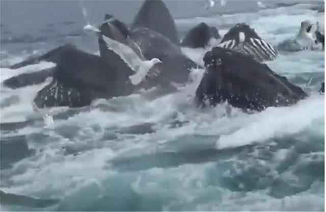 Βίντεο: Κοπάδι φαλαινών προκαλεί παροξυσμό σε τουρίστες