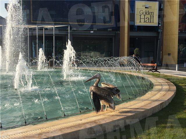 Φωτογραφίες: Πελεκάνος στο εμπορικό κέντρο Golden Hall