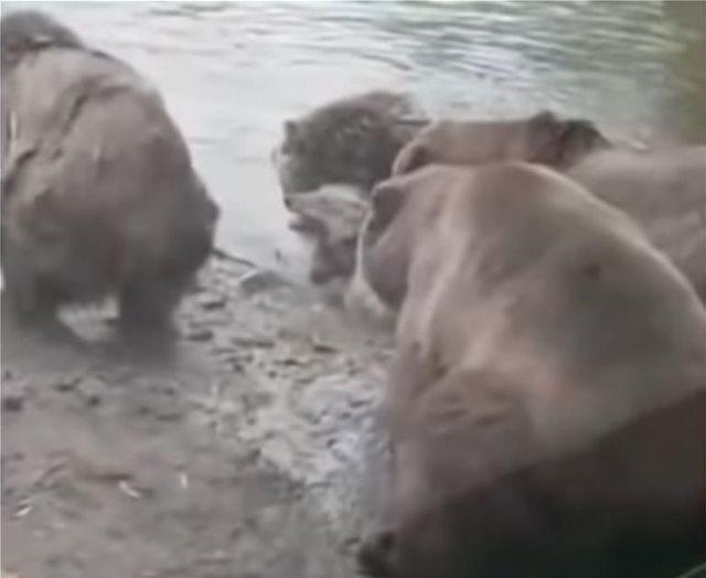 Τρόμος σε ζωολογικό κήπο της Ολλανδίας: Αρκούδες κατασπαράσσουν λύκαινα μπροστά σε παιδιά!