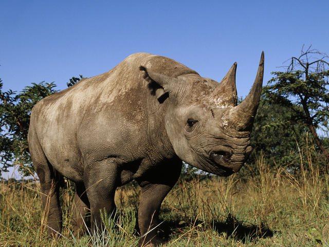 Τσαντ: Νεκροί τέσσερις από τους έξι μαύρους ρινόκερους που είχαν επανεισαχθεί στη χώρα για τη διάσωσή τους