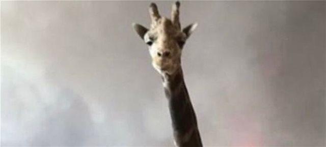 Ο Στάνλεϊ η καμηλοπάρδαλη σώθηκε από την πυρκαγιά στο Μαλιμπού