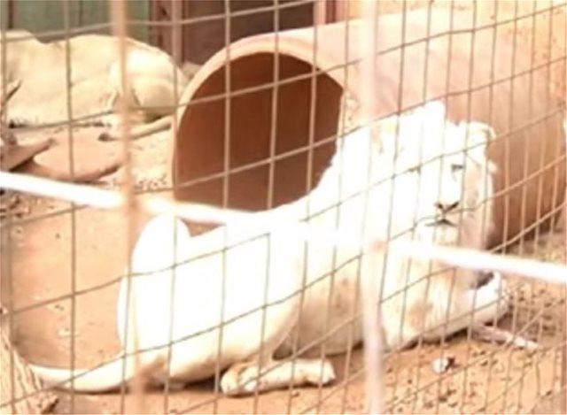 Save Mufasa: Οργή για τη δημοπρασία σπάνιου λευκού λιονταριού προκειμένου να πουληθεί σε κυνηγούς κεφαλών