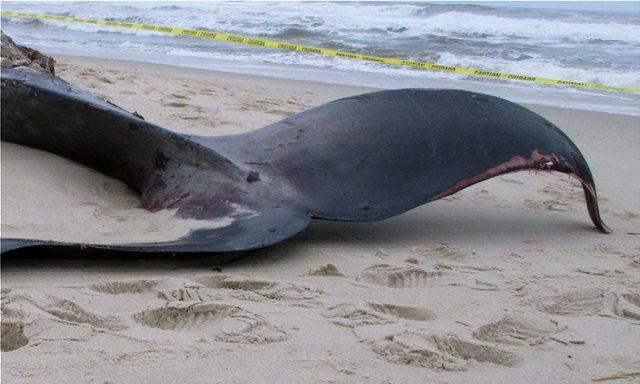 Ινδονησία: Βρέθηκε νεκρή φάλαινα με έξι κιλά πλαστικά απόβλητα στο στομάχι της