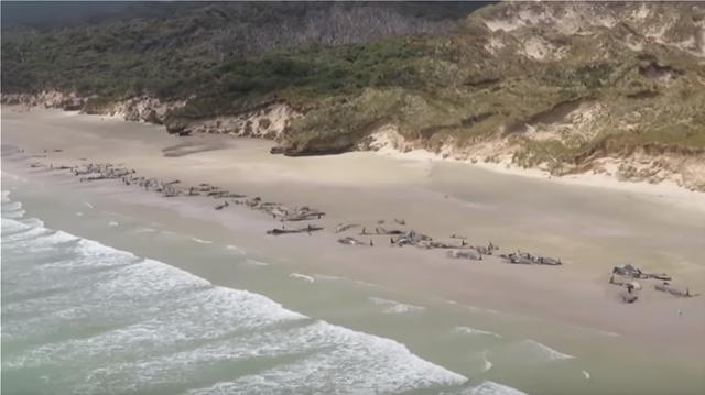 Νέα Ζηλανδία: Περιβαλλοντική τραγωδία με 150 νεκρά μαυροδέλφινα