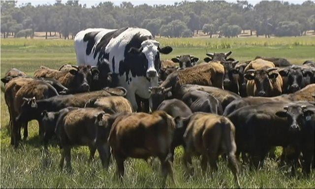 Αυστραλία: Δείτε την αγελάδα γίγαντα που ζυγίζει όσο ένα Golf!