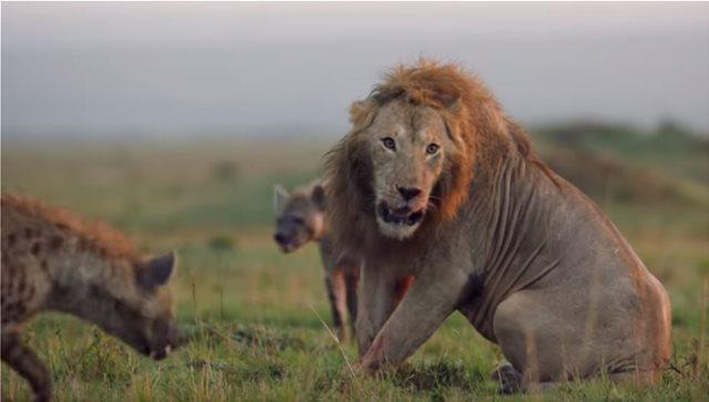 Απίστευτο βίντεο: Λιοντάρι παλεύει με πάνω από 20 ύαινες