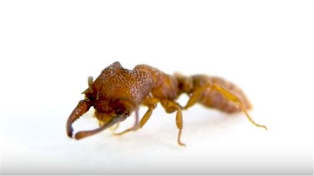 Ποιο τσιτάχ; Το μυρμήγκι «δράκουλας» είναι το πιο σβέλτο ζώο στη φύση!