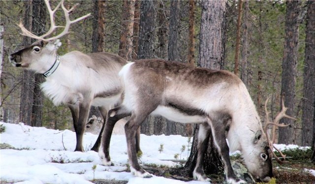 Drastic decline in Arctic reindeer population due to climate change (infographic)