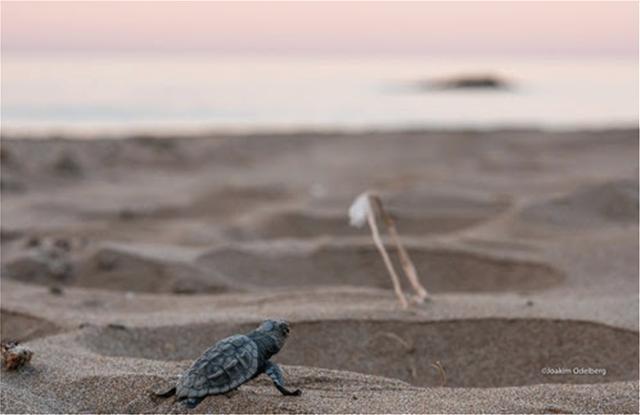 Ζάκυνθος: Χρονιά ρεκόρ το 2018 σε φωλιές θαλάσσιας χελώνας Caretta caretta