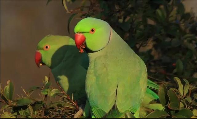 Γιατί αυξήθηκαν οι παπαγάλοι στα πάρκα της Αθήνας;