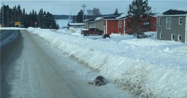Καναδάς: Έκκληση βοηθείας από χωριό λόγω εισβολής... φωκιών