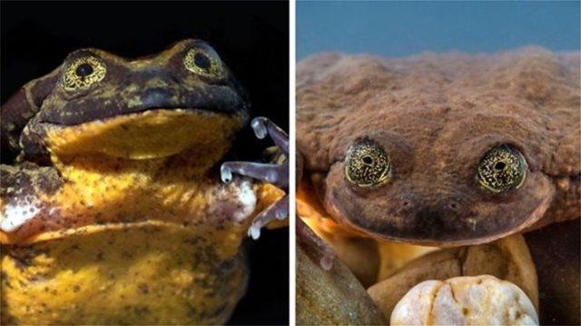 Ρομέο: Ο πιο «μοναχικός» βάτραχος του κόσμου βρήκε την Ιουλιέττα του και διαιωνίζει το είδος