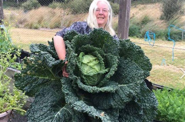 Αυστραλία: Λάχανο... extra large - Έχει το μέγεθος ενός ανθρώπου
