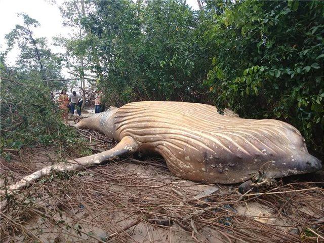 Βραζιλία: Φάλαινα βρέθηκε νεκρή στη ζούγκλα του Αμαζονίου