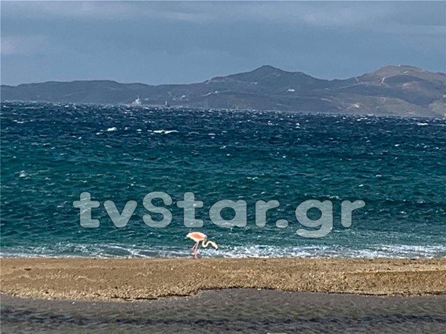 Φωτογραφίες: Φλαμίνγκο στην παραλία της Καρύστου
