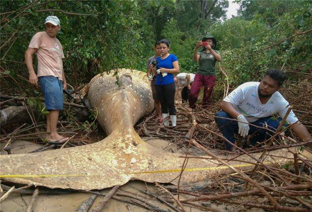 Βραζιλία: Ερευνες DNA για τη νεκρή φάλαινα του Αμαζονίου